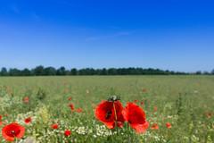 IMG_7223 (n_kot) Tags: field landscape pole wildflowers kwiaty kwiat kwiatypolne