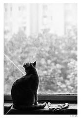 rido silhouette (Alja Ani Tuna) Tags: blackandwhite bw white window rain silhouette cat 1 year kitty 365 dailyphoto d800 1365 105mmf28 siluett project365 photo365 onephotoaday nikond800 rido