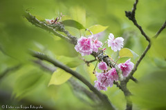 Pink blossom. (PvRFotografie) Tags: pink flowers flower green nature rose groen belgium minolta blossom belgi natuur 500mm bloesem bloemen bloem gardensofannevoie sonyslta99 minoltaaf500mmf8mirror