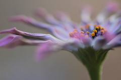 Velout voluptueux (CcileAF) Tags: flowers colour macro canon garden spring bokeh dreamy tamron