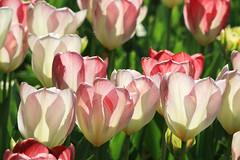 Shine A Light (preze) Tags: pink light plant flower licht petals flora colorful tulips blossom outdoor hell pflanze feld rosa sunny blumen flowerbed colourful blume blte sonnig bunt bltenbltter tulpen tulpe schrfentiefe tulipan freundlich blumenbeet britzergarten heiter tulpenausstellung canoneosm3 efm55200 britzgarden