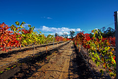 Vineyards of Temecula (Kevin D. Haley) Tags: california autumn fall clouds bluesky autumnleaves winery autumncolors vineyards grapes temecula grapevine winecountry partlycloudy temeculacalifornia winecountrytemecula