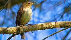 House Wren (Bob's Digital Eye) Tags: bird nature birds animal canon flickr outdoor wildlife depthoffield flicker t3i housewren canonefs55250mmf456isstm bobsdigitaleye