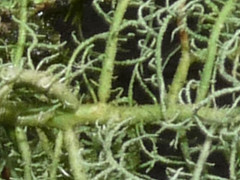 Usnea cornuta constriction (Plymouth Phil) Tags: lichen constriction usnea usneacornuta