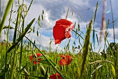 In a small field (Eric Luesink) Tags: flowers blue red sky plants storm green grass clouds outside outdoors grey blurry outdoor wheat low poppies