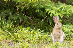Livre peu farouche au bic! (pascaleforest) Tags: bunny animal nikon passion bic rimouski mammifre livre