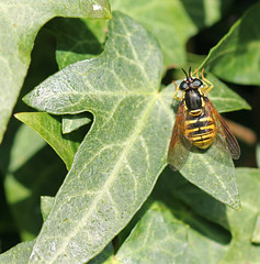 Chrysotoxum sp. Hoverfly! (RiverCrouchWalker) Tags: insect leaf spring may ivy essex hoverfly invertebrate 2016 southwoodhamferrers chrysotoxum essexwildlifetrust woodhamfen elitebug