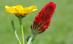 Corn Marigold and Crimson Clover 230516 (2) (Richard Collier - Wildlife and Travel Photography) Tags: flowers macro wildflowers crimsonclover cornmarigold britishwildflowers flowersenglishflowers