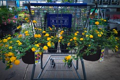(175/366) Cart of Plants (CarusoPhoto) Tags: everyday ordinary mundane banal hanging basket cart plus 6 iphone shopping shop plants plant flowers flower carusophoto caruso john 355 366 project