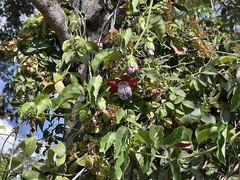 Passiflora alata (Mauricio Mercadante) Tags: passiflora passifloraceae passifloraalata taxonomy:binomial=passifloraalata