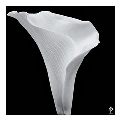 Curves... (fearghal breathnach) Tags: curves flower lilly monochrome blackwhite squareformat square shapes contrast nature beautyinnature simplicity miminalist border
