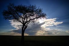 Mara lands (cdx_cdx) Tags: africa tree silhouette zeiss landscapes kenya safari grasslands ze masaimara distagont2821 balanitetree canoneos1dxmarkii