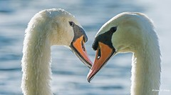 Close-up of two beauties   ) (Thank you, my friends, Adam!) Tags: flower macro art beauty closeup wow lens photography orlando nikon gallery photographer florida wildlife fine central telephoto swans excellent dslr curve           adamzhang