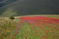 from now: Kevin's poppies field (Franco Vannini) Tags: poppies goldenretrievers papaveri castelluccio sibillini fiorita castellucciodinorcia parcodeisibillini infiorita