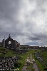 abandoned church stoer, scotland (velvet.rain) Tags: landscape scotland natur landschaft schottland schafe stoer