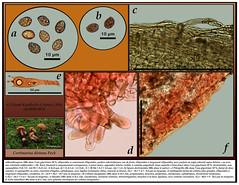 Cortinarius distans (Claude Kaufholtz-C.) Tags: mushrooms fungi pilze mycology champignons mycologie fongi cortinariusdistans pilzkunde planchemicrographique