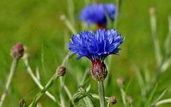 cornflower.............. (Suzie Noble) Tags: flower garden cornflower blueflower strathglass struy