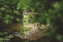 Beyond the bamboo (Tammy Schild) Tags: trees summer green water forest stream ducks bamboo