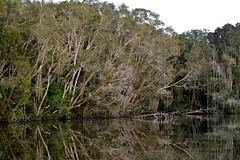 waterhole (dustaway) Tags: nature reflections landscape australia nsw waterhole australianlandscape ballina wetland waterscape northcoast northernrivers paperbarks swampforest