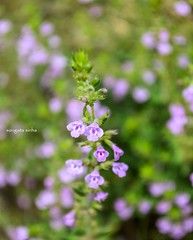 Spring (Sougata2013) Tags: wild india mountain flower nature colors spring hill april mandi wildflower hillstation himachalpradesh 2015