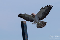 Swainson's Hawk landing sequence - 8 of 13.