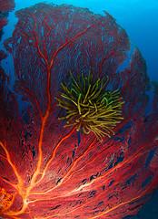 IMG_8745 (Andrey Narchuk) Tags: ocean coral fiji shark underwater