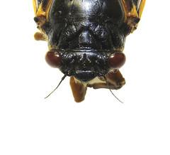Setaceous antennae (The NYSIPM Image Gallery) Tags: integratedpestmanagement periodicalcicada ocelli cornell university nysipm cornelluniversity cals new york state ipm program lifescience pestmanagement pestcontrol ipmimagegallery newyork