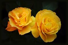 Dankeschn  / Thank you (LL) Tags: roses yellow thankyou rosen scent duft gelbe dankeschn