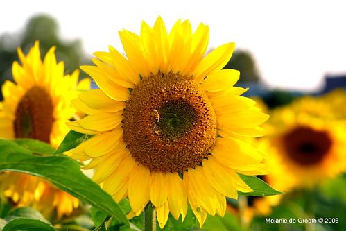Sunshine Sunflower