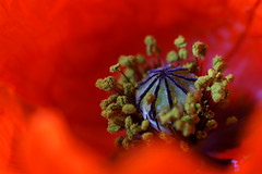 Red Poppy (delopafoto) Tags: red spring blossom seeds poppy blüte frühling mohn samen mohnblume awesomeblossoms delopafoto
