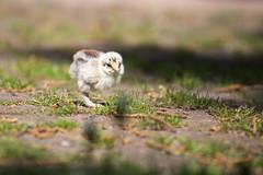 Frisch geschlpft (Gret B.) Tags: baby cute bird chicken klein natur vogel niedlich federball landleben kken ss hhnerkken