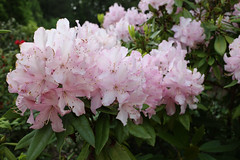 IMG_3017.JPG (robert.messinger) Tags: flowers rhodies