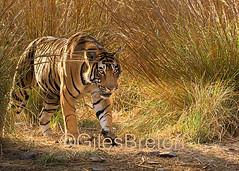 TIG01496GB_1 (giles.breton) Tags: india tiger tigers endangered ranthambhore panthera threatened andyrouse ranthambhorenationalpark pantheratigristigris royalbengaltiger dickysingh