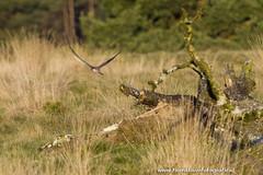 _TKF5736 (Tjeerdknierfotografie) Tags: landscape landschap hogeveluwe torenvalk roofvogels nphogeveluwe npdhv