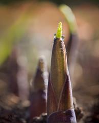 hosta shoot (marianna armata) Tags: red green wet water leaf spring shoot drop fresh growth bud hosta moist mariannaarmata p2300440