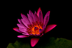DSC_0010 Water Lily (tsuping.liu) Tags: red plant flower nature blackbackground wow waterlily bright outdoor serene brilliant brite naturesfinest aquaticplant natureselegantshots