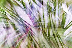 Multiple Nature 330 (pni) Tags: macro closeup pine suomi finland helsinki multipleexposure needle helsingfors tripleexposure multiexposure skrubu pni pekkanikrus