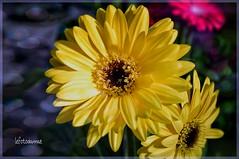 Le anime dei fiori (lefotodiannae) Tags: macro fleur colore giallo lefotodiannae