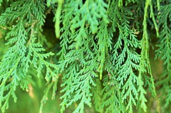 Greenery (Smevin Paul - Thrisookaran !! www.smevin.com) Tags:  plants india green paul photography tamil ooty nadu smevin smevins thrisookaran