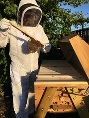Bee are building honeycomb