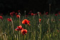 Bonne fte maman ! (Pierrotg2g) Tags: flowers nature fleurs puppies nikon coquelicots d90