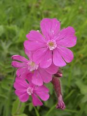 Rote-Lichtnelke (aletscharena) Tags: schweiz sommer wallis bettmeralp unescowelterbe alpenblumen alpenkruter aletscharena