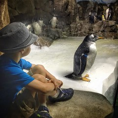 Six awesome hours at @kansascityzoo today. The kids had a blast and we sure made the most of this great weather. This is one of my favorite pictures of our day out. Both my son and the penguin just chilling for five minutes. #friendsofthezoo #igkansascity (Yosef Silver - This American Bite) Tags: food cooking recipes foodie instagram thisamericanbite