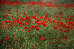 Tell me, what is it you plan to do with your one wild and precious life? (patrycehp on the road/ trying to catch up) Tags: oliver mary va fairfax centreville poppyfield route29 66w