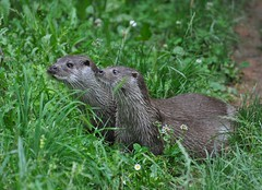 Lutra lutra - Loutre d'Europe ou Loutre europenne - European otter or Common otter - 25/06/16 (Philippe_Boissel) Tags: lutralutra loutredeurope loutre loutreeuropenne europeanotter commonotter captive lutrinae mustelidae carnivora mammals mammifre 0070