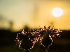 Two of Us (*Capture the Moment*) Tags: pink sunset flower macro green yellow bokeh pflanzen blumen bee gelb grn imperfection biene 2016 farbdominanz sonya7ii sonysel90m28g