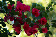 Complimentary colours (Jutta Sund) Tags: flower tree leaves bokeh red green colours plant