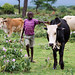 Young boy herding cattle