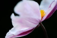 hide u (rainbowcave) Tags: flower bloom petal blume blte bltenblatt macro makro