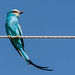 Abyssinian roller (Coracias abyssinicus), Awash National Park, Ethiopia